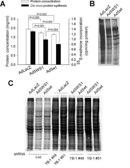 Ad5WS1 and wild-type adenovirus inhibit host protein synthesis through YB-1 in MCF-7 cells.