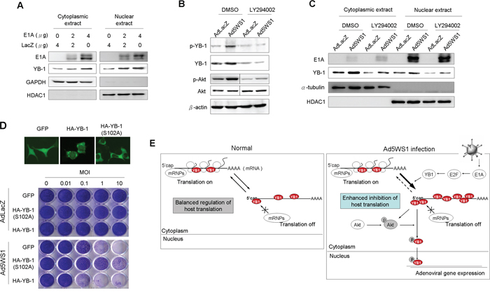 E1A and Ad5WS1 induce phosphorylation and nuclear translocation of YB-1 through p-Akt and thereby enhance cytolytic activity of Ad5WS1 in MCF-7 cells.