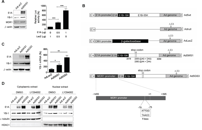 Ad5GS3 is superior to Ad5WS1 in enhancing the expression and nuclear translocation of YB-1 in MCF-7 cells.