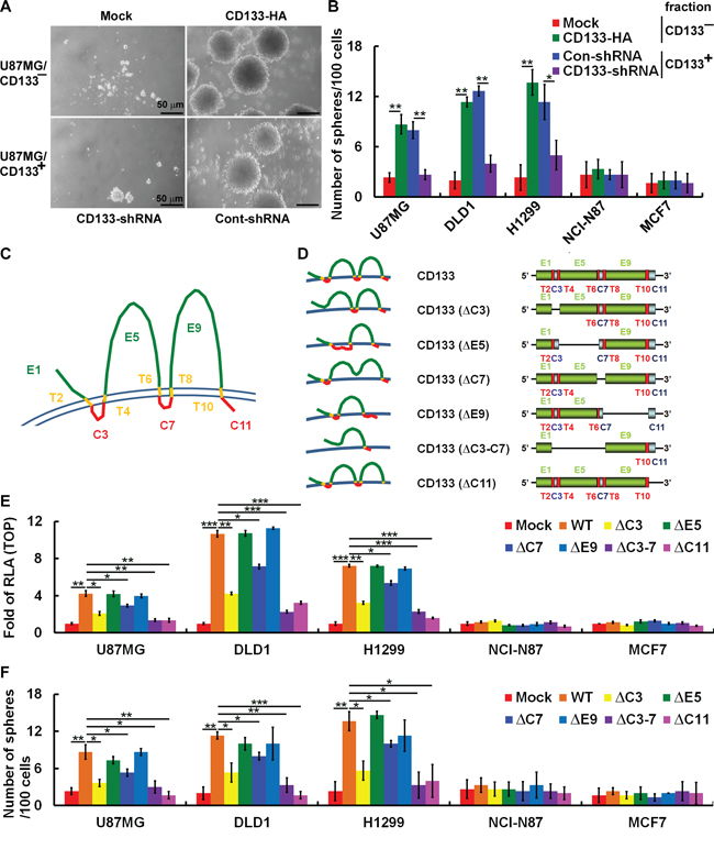 CD133 intracellular domains are required to enhance β-catenin-mediated transcription and maintain CSC properties.