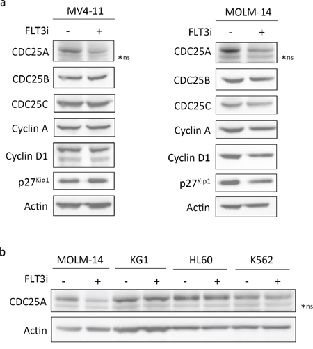 CDC25A is an early cell cycle target downstream of FLT3-ITD.