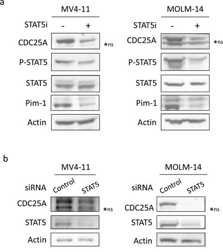 STAT5 regulates CDC25A downstream of FLT3-ITD.