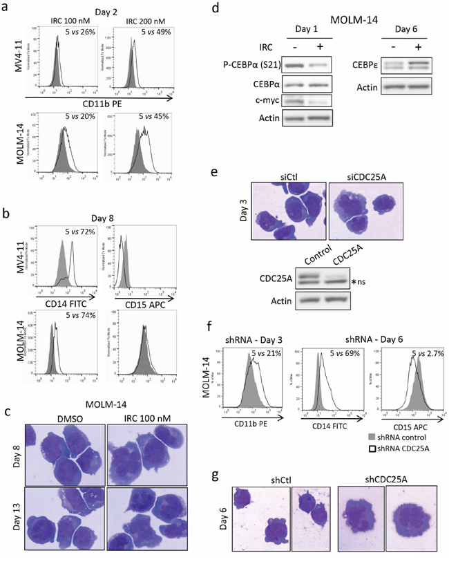CDC25 inhibition relieves differentiation block in FLT3-ITD AML cell lines.