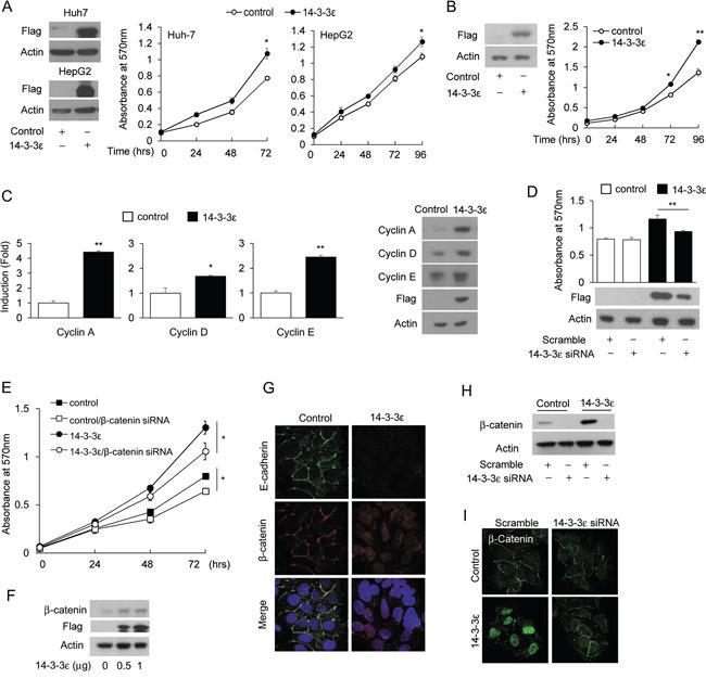 14-3-3ε induces HCC cell proliferation via β-catenin signaling activation.