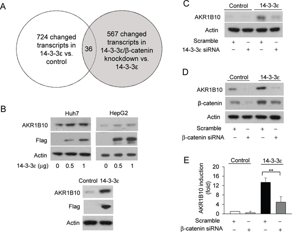 AKR1B10 is regulated by the 14-3-3ε/β-catenin axis.