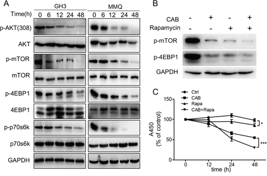 CAB suppresses the AKT/mTOR pathway.