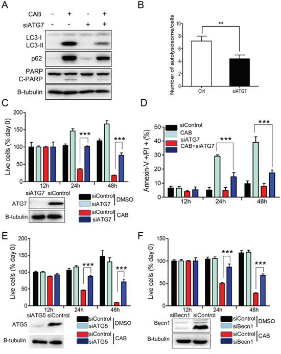 Silencing of autophagic key genes rescues CAB-induced cell death.