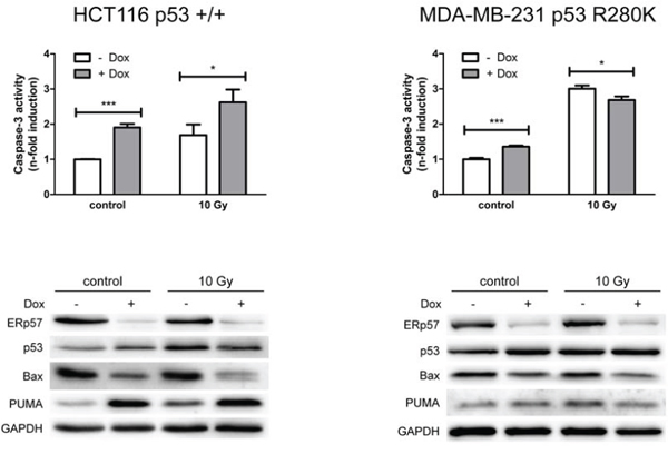 ERp57 modulates irradiation-induced apoptosis in a cell-type specific manner.
