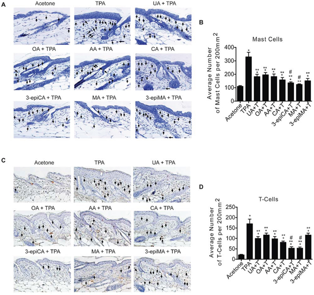 Effects of UA and related triterpenes found in P. frutescens on skin inflammation induced by TPA.