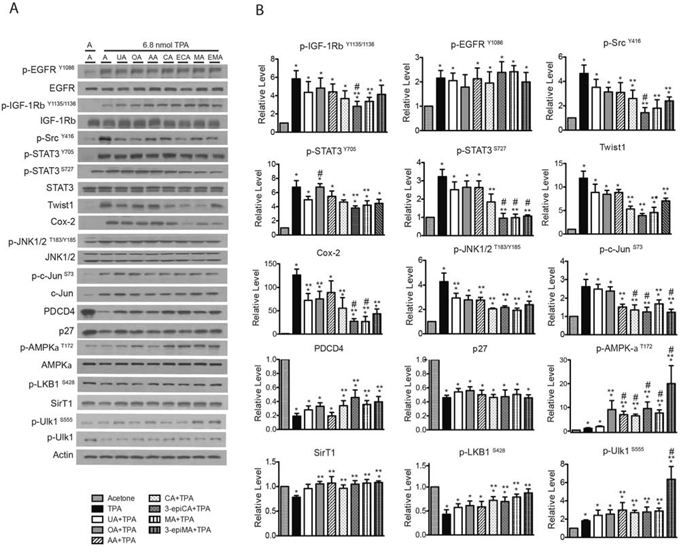 Effects of UA and related triterpenes from P. frutescens on TPA-induced epidermal signaling pathways in female ICR female.