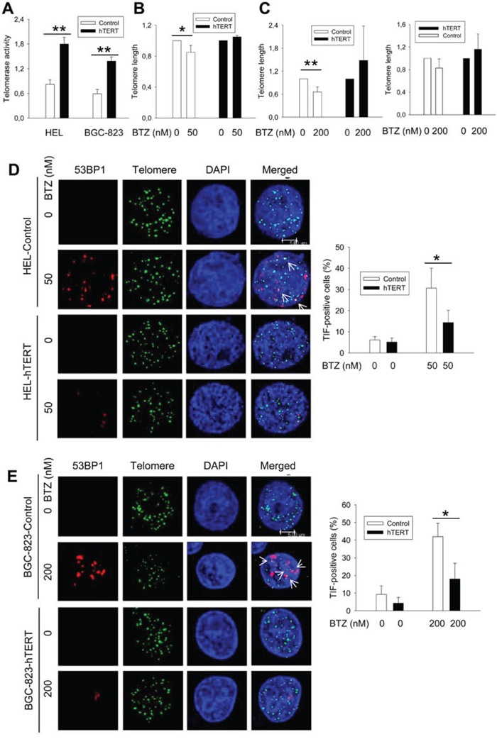 Telomere shortening and dysfunction in HEL and BGC-823 cells treated with bortezomib, which was attenuated by hTERT over-expression.