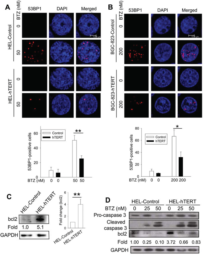Reduced DNA damage and/or bcl-2 up-regulation by hTERT over-expression in bortezomib-treated cells.