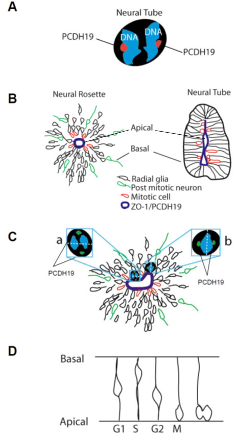 PCDH19 in proliferating and differentiating iPSCs.