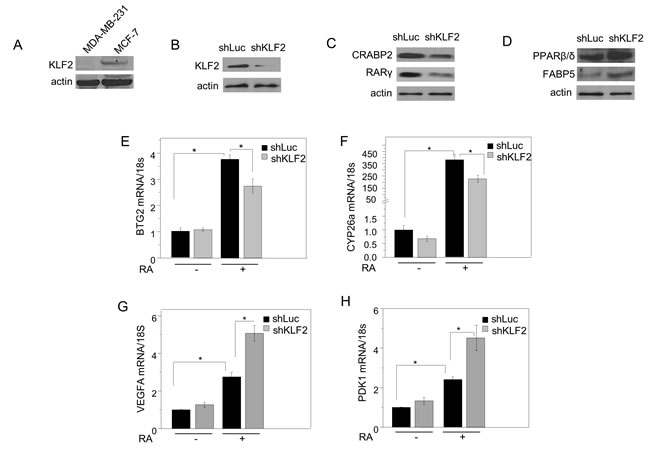 KLF2 regulates RA signaling in MCF-7 mammary carcinoma cells.