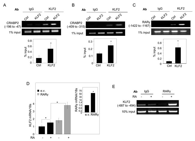 KLF2 directly induces the expression of CRABP2 and RARγ, and RARγ directly regulates KLF2 transcription.