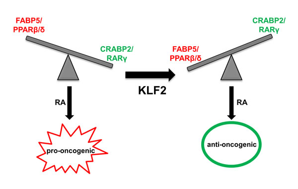 A model outlining cross-talk between KLF2 and RA signaling in control of cancer cell growth.