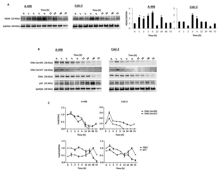 Axitinib triggers DDR in RCC cells.
