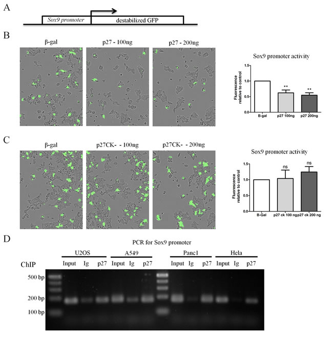 p27 represses transcription of Sox9 in a CDK dependent manner.