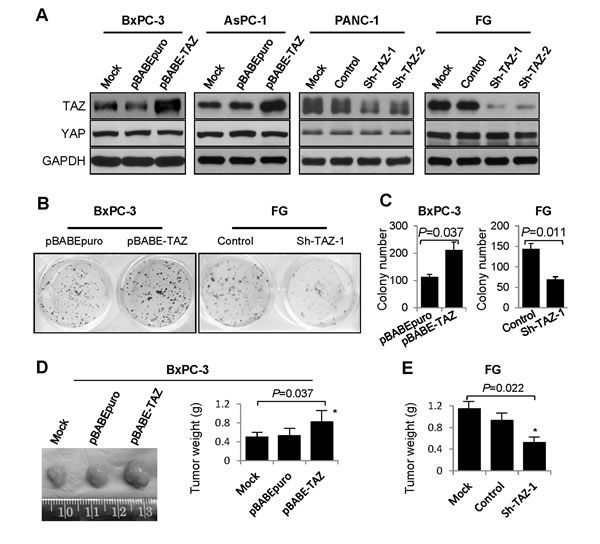 Effect of altered TAZ expression on pancreatic cancer cell growth