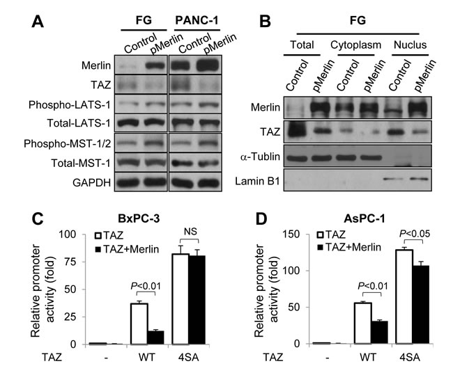Regulation of the expression, nuclear localization, and transcriptional activity of TAZ by Merlin