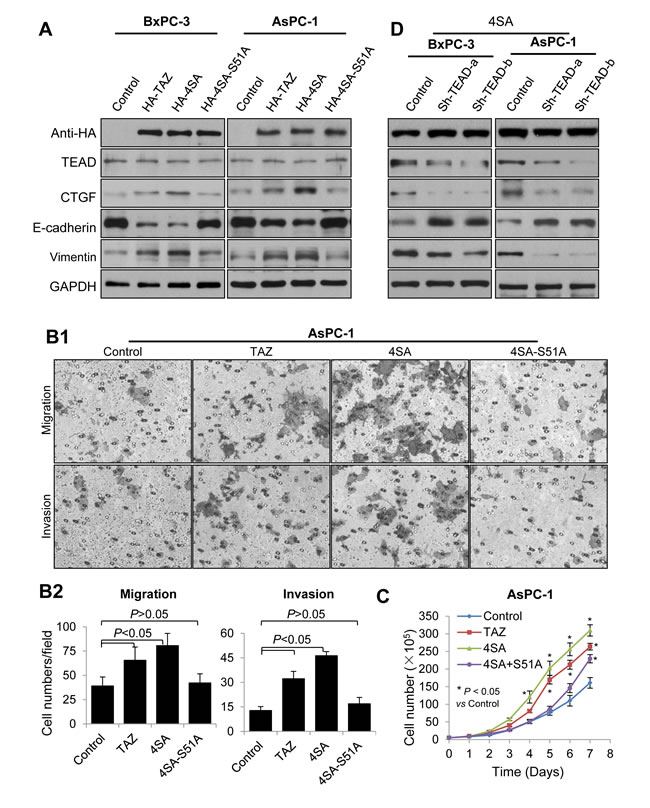 Mediation of the oncogenic function of TAZ in pancreatic cancer cells by TEAD transcription factors.