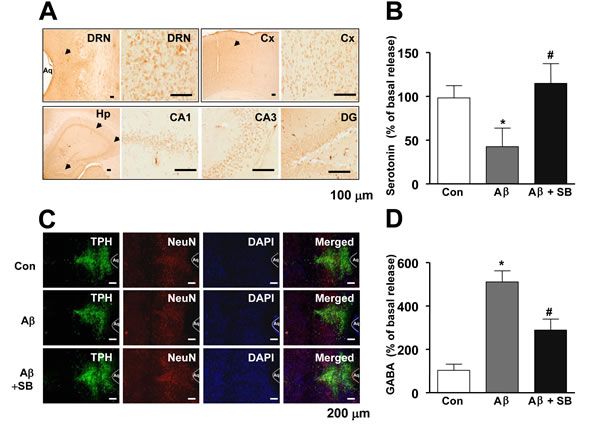 Distribution of 5-HT6R in the mouse brain, and effect of SB271046 on serotonergic neurons in the AD mouse model.