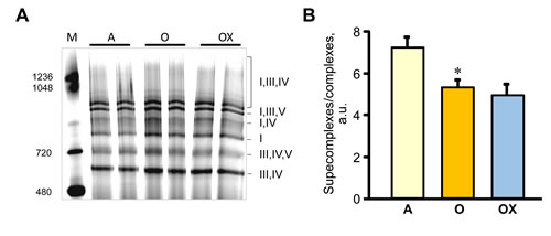 ETC supercomplexes levels measured by blue native gel electrophoresis in gastrocnemius mitochondria of adult (A), and XJB-treated (OX) and untreated (O) old rats.