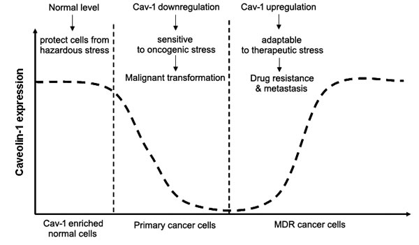 Cav-1 may act as a stress-response signaling during cancer development in Cav-1 enriched cells.