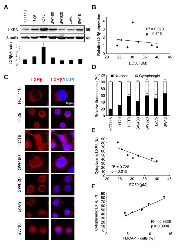 Human colon cancer cell sensitivity correlates with LXRβ localization.