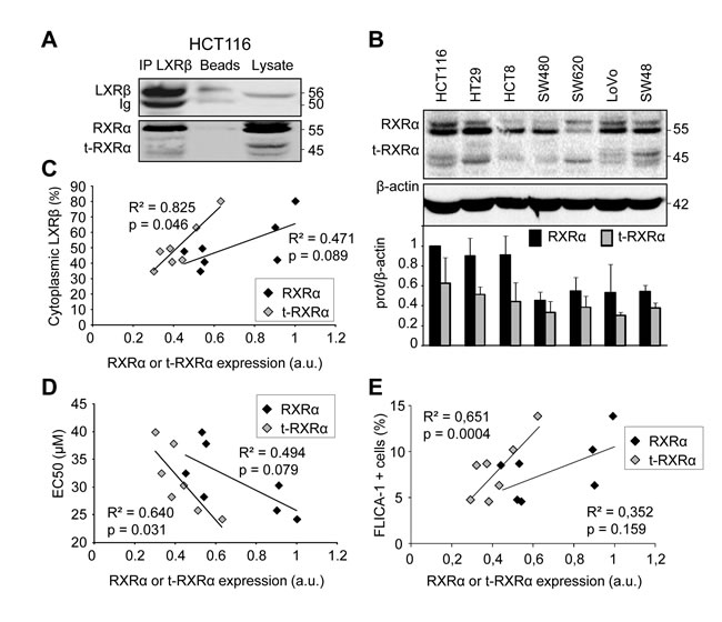 Human colon cancer cell sensitivity and LXRβ localization are correlated with t-RXRα expression.