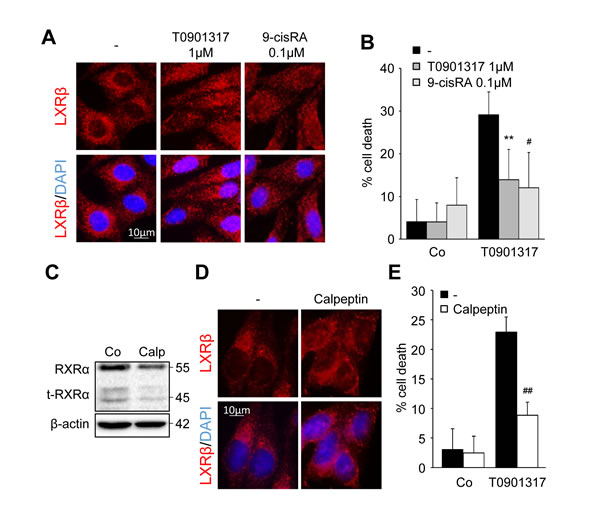 LXRβ nuclear relocalization decreases LXR ligand cytotoxicity.