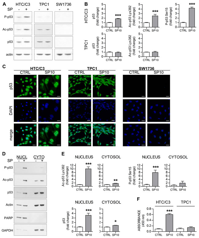 SP induces p53 nuclear translocation and activation in HTC/C3 cells.