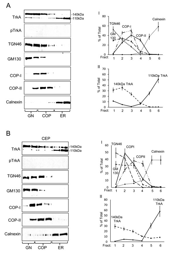 TrkAIII differs to TrkA in steady-state intracellular distribution and activation.
