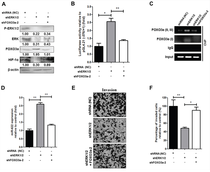 Phosphorylated ERK downregulates FOXO3a-miR-622 to increase HIF-1α expression and promote the invasiveness of human lung cancer cells.