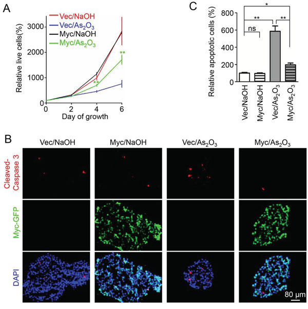 Overexpression of c-Myc partially rescued the inhibitory effects of As2O3 on GSCs.
