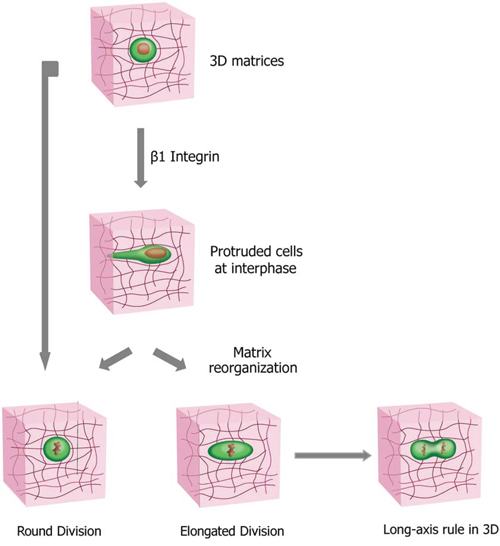 Cell division modes in 3D collagen matrices and the determination of cell division orientation by the direction of the major axis of the mitotic elongated cell.