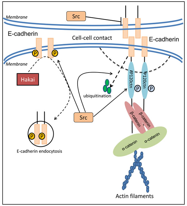 Src modulates cell adhesion through regulation of E-cadherin expression, distribution and function.