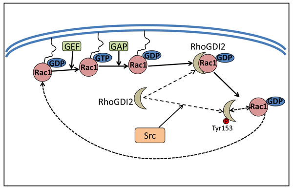 Src increases Rac1 activity by phosphorylating RhoGDI2.