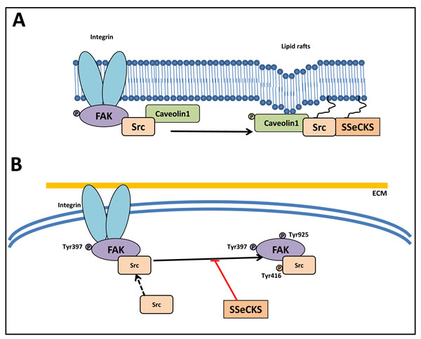Src abrogates the function of the FAK/Src complex.