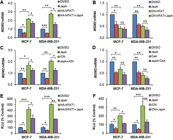 Effects of JapA on NFAT1-mediated MDM2 transcription.