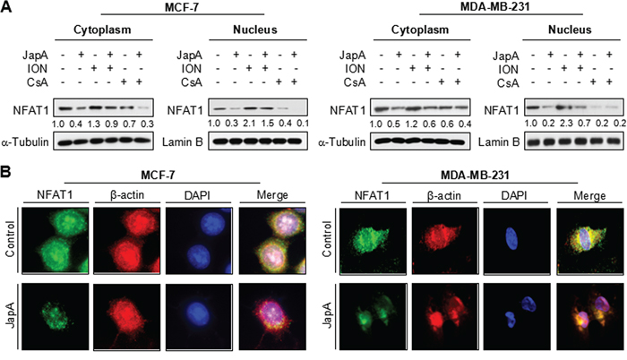 Effects of JapA on the nuclear localization of NFAT1.