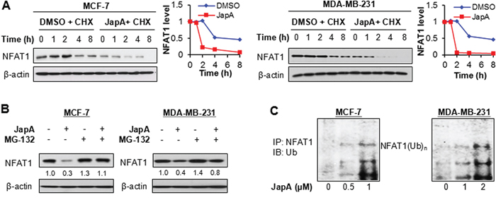 Effects of JapA on NFAT1 protein stability.