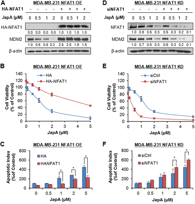 NFAT1 overexpression and knockdown affect the cell response to JapA in breast cancer cells.