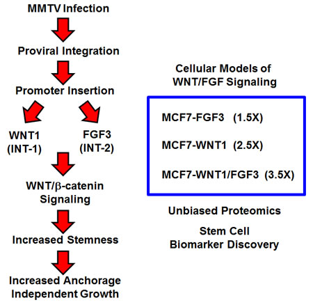 Creating a humanized experimental model for MMTV: Focus on WNT1 and FGF3 signaling.