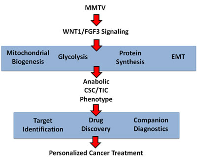 Anabolic CSC signaling: Exploiting a humanized model of MMTV signaling to identify the characteristics of anabolic CSCs and achieve the goals of personalized medicine.