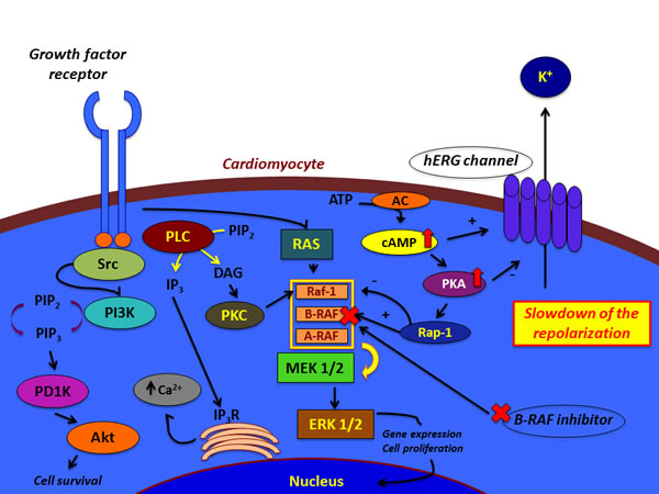 Hypotheses for the effects of BRAF inhibitors on cardiomyocyte.