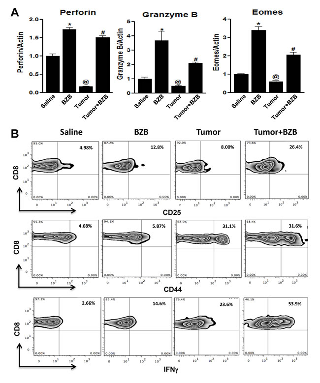 Bortezomib augments expression of CD8