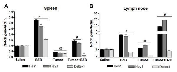 Bortezomib influences Notch system in TCRHA Cln4 tumor-bearing mice.