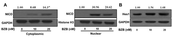 Bortezomib upregulates the expression of NICD and its downstream target Hes1 in CD8