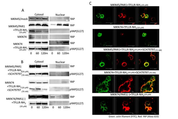 PAR1 promotes YAP dephosphorylation.